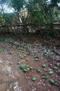 Fallen Mangos